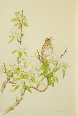 Song Thrush and Pear Blossom