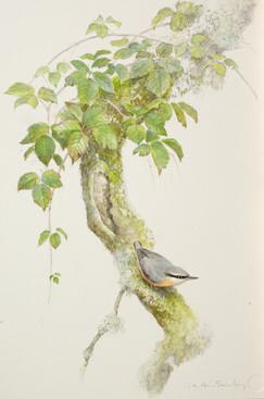 Nuthatch Branch