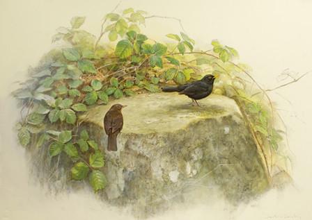 Blackbird and bramble