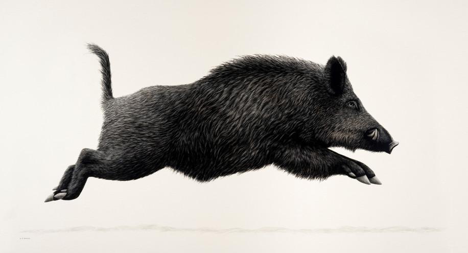 Running Boar