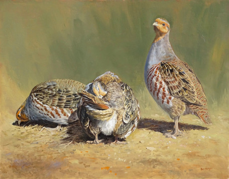 Grey Partridges