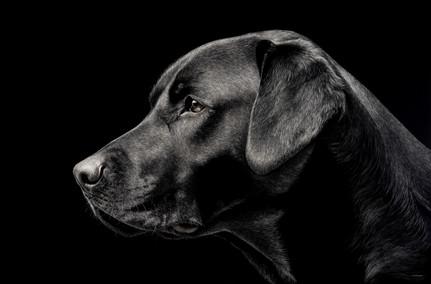 Labrador Profile