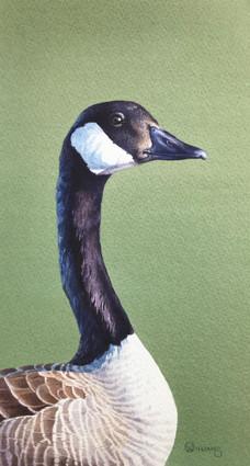 Canada Goose Head Study