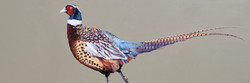 strutting-cock