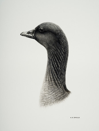 Pinkfooted Goose