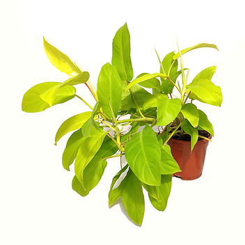 philodendron-malay-gold.jpg