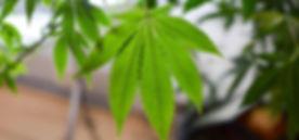 Solo Leaf.jpg
