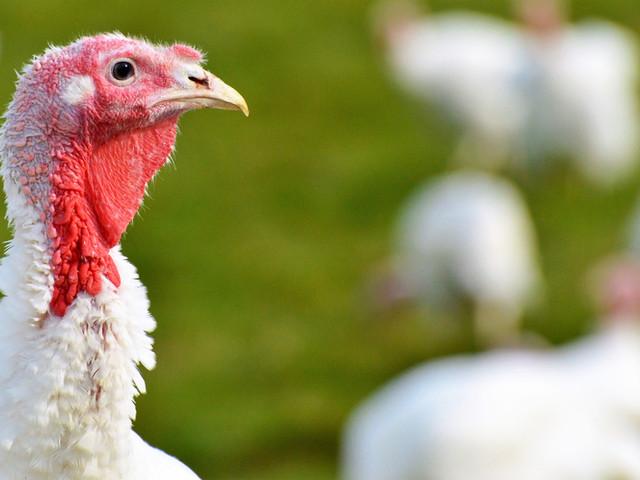 Thanksgiving Turkeys & Poultry