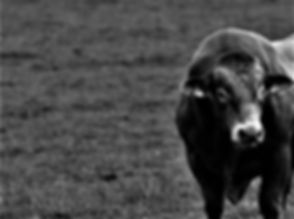 bull-1805365 (1).jpg