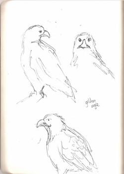 Camperdown Wildlife - Golden Eagle