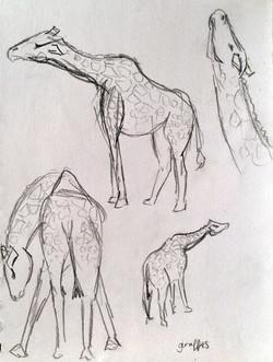 Blair Drummond - Giraffes