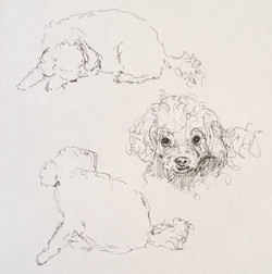 Pippa The Toy Poodle