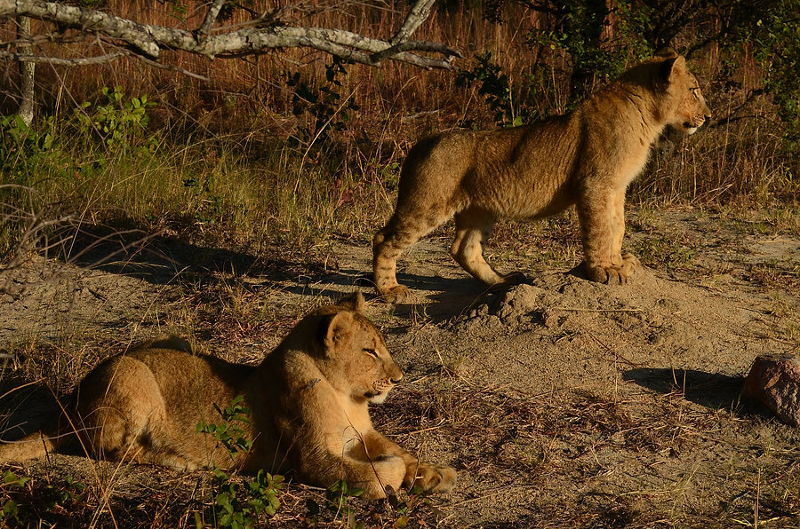 lion cubs by James Thompson from Pixabay .jpg