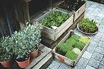 販売用植物