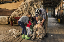 Shearing- PH_ Luis Franke.jpg