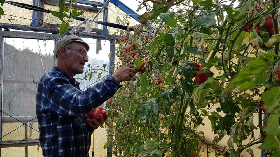 Coronato cutting tomatoes