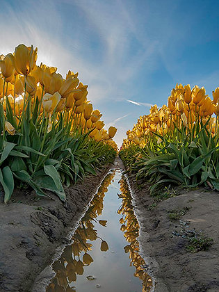Yellow Tulip Reflections