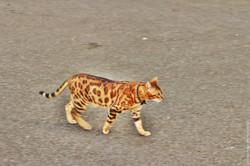 The jaguar is my guide