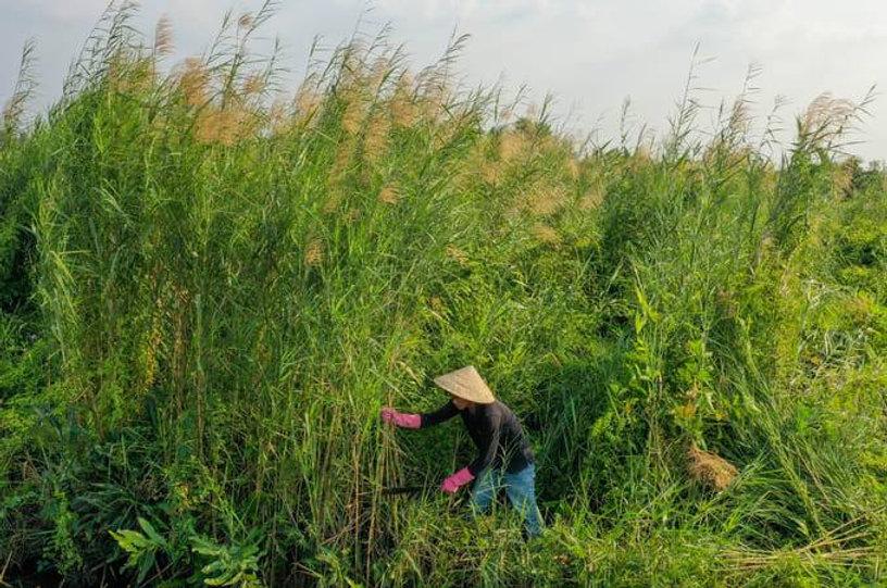 Woman Harvesting Grass.jpg