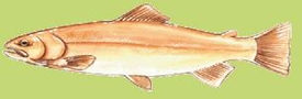 golden-trout.jpg