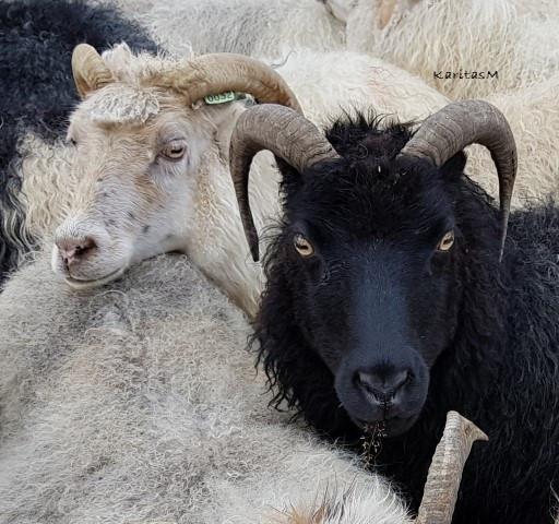 Black & white sheep