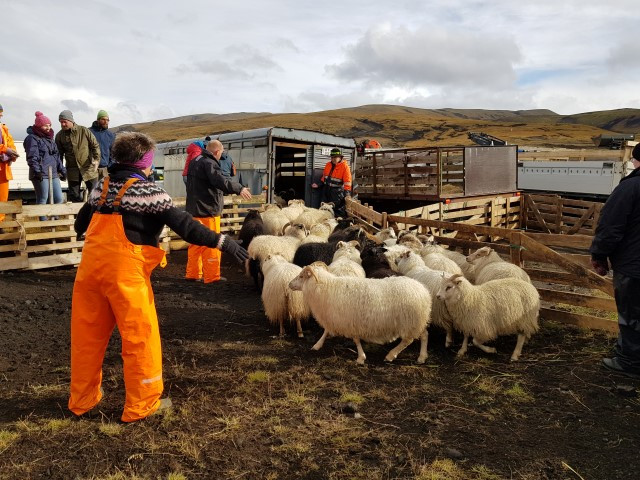 Working on guiding the sheep into transport cars - to take to farms