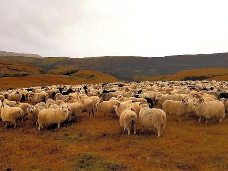 Tasty Icelandic/Greek Lamb Recipes that We Love!