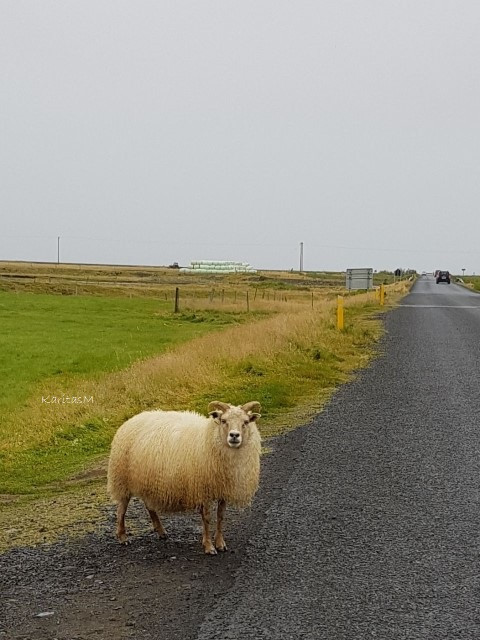 A sheep checking me out!