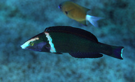 Pseudojuloides pluto, the Narcissus Pencil Wrasse  A species of pencil wrasse native to northwestern Micronesia, including Ogasawara and the nothern Mariana Islands. Named after the Roman god of the underworld, Pluto.