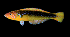 Pseudojuloides crux, the Stellate Pencil Wrasse  One of three closely related species from the Pseudojuloides elongatus species complex. The stellate pencil wrasse is restricted to sub-tropical reefs of Western Australia.