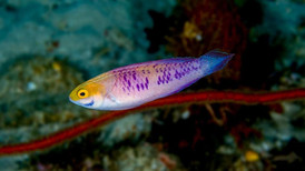 Cirrhilabrus wakanda – The Vibranium Fairy Wrasse   A new species of mesophotic fairy wrasse discovered in Tanzania, Africa. This species was chrisened after the fictional Marvel nation of Wakanda, home of the superhero Black Panther. The name acknowledges the African type locality, and is also reminiscent of the tribal markings on many of the garment worn by the Wakandan people. The species was described in collaboration with Luiz Rocha, Hudson Pinheiro, and Bart Shephard at the California Academy of Sciences.