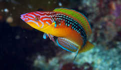 Pseudojuloides paradiseus, the Paradise Pencil Wrasse  One of three closely related species from the Pseudojuloides elongatus species complex. The paradise pencil wrasse is restricted to sub-tropical reefs of Southern Japan.