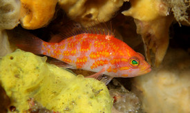 Plectranthias takasei – The Hinomaru Perchlet   This diminutive anthiadine is found only in deep reefs of the Izu Peninsular. The characteristic red spot on the back is reminiscent of the Japanese Hinomaru, symbolizing the rising sun.