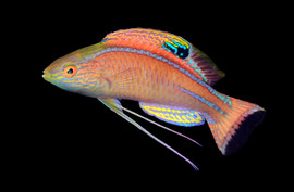 Cirrhilabrus briangreenei, the Latigo Fairy Wrasse. This deep dwelling mesophotic species is most closely related to Cirrhilabrus pylei. Both species are known for having long, whip-like pelvic fins, which the males use to communicate with other males and females of the same species.