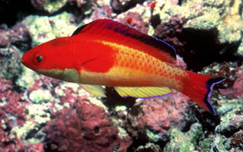 Cirrhilabrus efatensis – The Hooded Fairy Wrasse   This species is most easily confused with the very closely related Cirrhilabrus bathyphilus. However, it is readily distinguished in having a bright red hood that abruptly ends just beyond the pectoral fins. Cirrhilabrus efatensis is endemic to the reefs of the eponymous Efate Island, Vanuatu. It ranges as far north as Espiritu Santo.