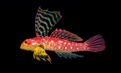 Synchiropus sycorax – The Ruby Dragonet   This sensational fish belongs to the family Callionymidae, a group of benthic fishes commonly known as dragonets. Synchiropus sycorax is arguably one of the most spectacular. The bright red body and large cape-like dorsal fin is reminiscent of the Sycorax Warriors from the popular BBC series Dr. Who.