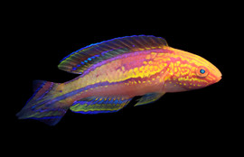 Cirrhilabrus isosceles – The Pintail Fairy Wrasse   This was the first fish I ever described, based on a specimen collected in 1998. I was six years old! Understandly this fish holds a very special place in my heart. It is named isosceles after the triangular caudal fin of two equal sides. Cirrhilabrus isosceles is widespread across most of the Philippines up to southern Japan.