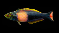 Pseudojuloides proserpina, the Pomegranate Pencil Wrasse  A species of pencil wrasse native to Marquesas. Named after the Roman goddess of the underworld, Proserpina.