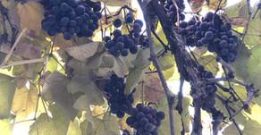 Georgia: Birthplace of Wine?