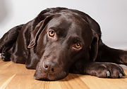 Chocolate-Lab_shutterstock_405052057_Pau