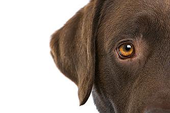 veterinary-chocolate-labrador-retriever-