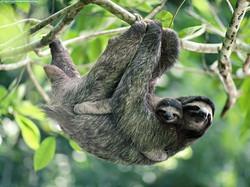 Brown-Throated Three-Toed Sloth, Panama