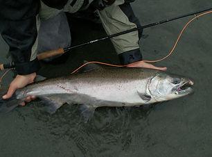 An Alaskan King Salmon.jpg
