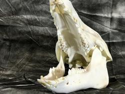 Texas Hog Skull