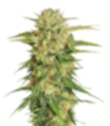 purepng.com-cannabiscannabisplantcannaba