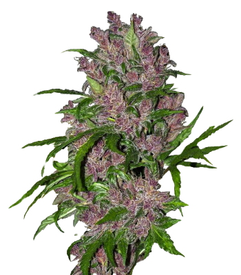 Purple%20Bud_edited.png