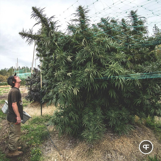 Grow the Biggest Marijuana Plant in South Africa and WIN R1,000