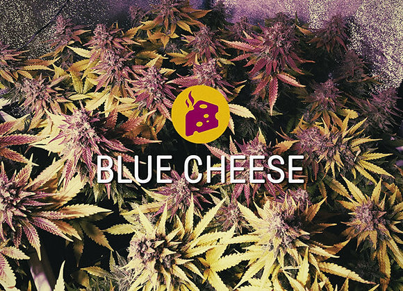 Blue Cheese – 5 Seeds