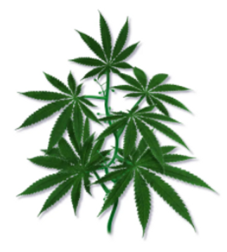 Cannabis Clones, Cloning, and Mothers
