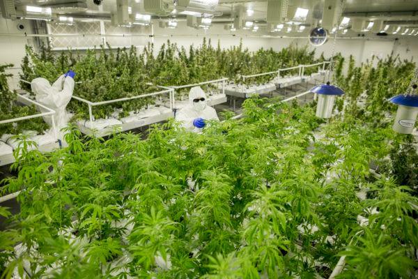 Licenced medicinal cannabis grow lab.